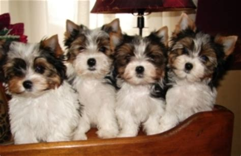 biewer yorkies for sale biewer puppies for sale biewer terriers biewer terrier breeder