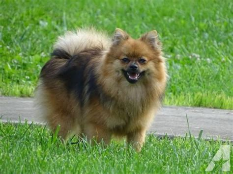 pomeranians for sale in ma pomeranian for sale in athol massachusetts classified americanlisted