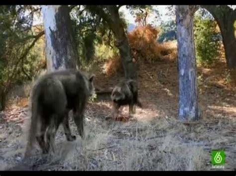 lobo gigante lobos gigantes 2da parte documental quot espa 209 ol quot youtube