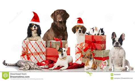 christmas pets royalty  stock images image