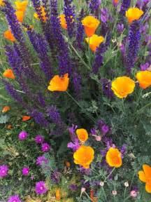 drought tolerant plants on my sidewalk garden lavandula stoechas eschschoizia californica