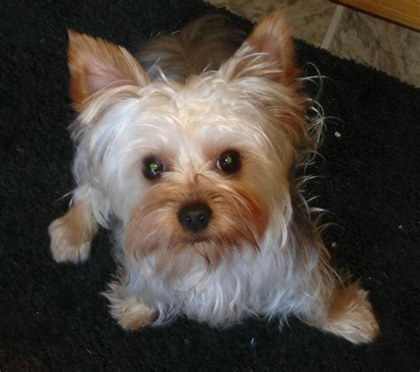 teacup yorkie for sale in maryland teacup yorkie puppies for sale in maryland