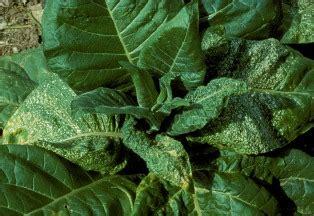 basmi hama thrips  tanaman tembakau agrokompleks kita