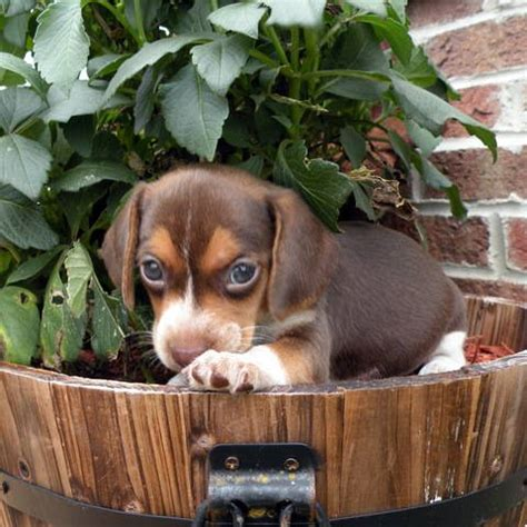 yorkies for sale raleigh nc pocket beagles for sale in raleigh nc