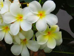 Flower Plants India - flowers in the park plumeria flowers in pondicherry india