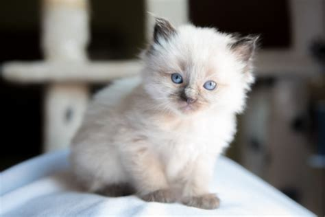 1 2 breed ragdoll kittens 1 x ragdoll kitten sold leicester leicestershire