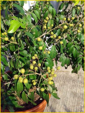 Jual Bibit Buah Lengkeng jual bibit tanaman buah 0878 55000 800 lengkeng 7