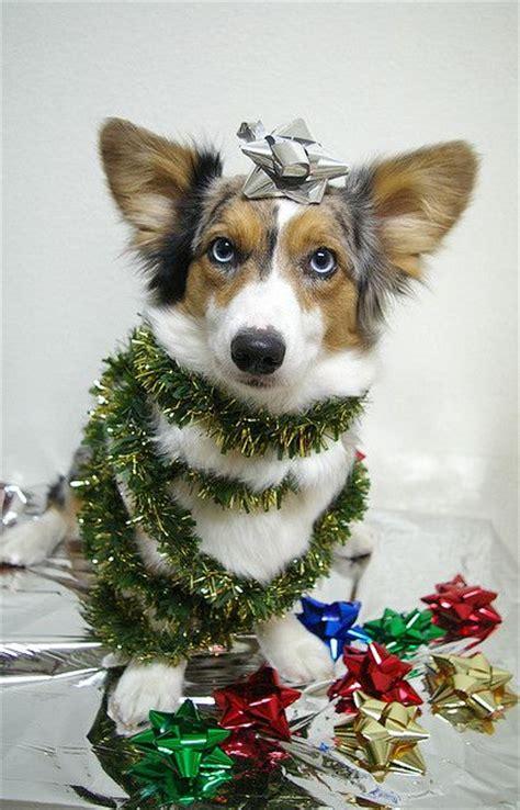 christmas corgi tree the indignity corgis pinterest