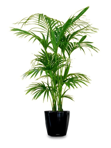 Best Indoor House Plant 18 Best Large Indoor Plants For Home Large Indoor Plants