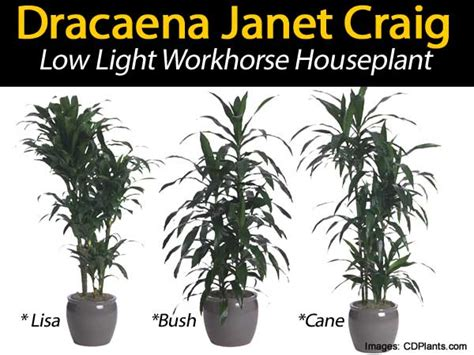 Best Plant For Indoor Low Light Dracaena Janet Craig