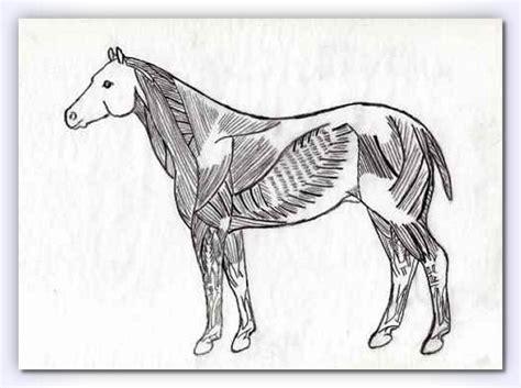 horses muscles diagram equine superficial chart