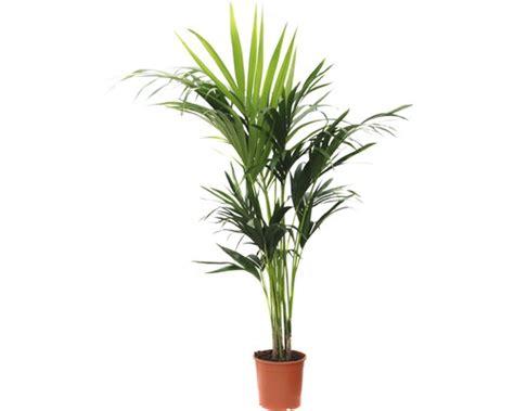 Palmen Kaufen 140 by Howeia Palme Floraself Howeia Forsteriana 140 150 Cm Bei