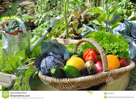 garden fresh vegetables vegetable basket in garden stock photo image 42700777
