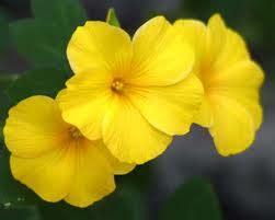 nome fiore giallo astrogiardino giardino astrologia e