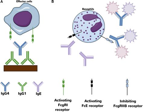 frontiers antibody targeting of steady frontiers mosquito pathogen hybrid igg4
