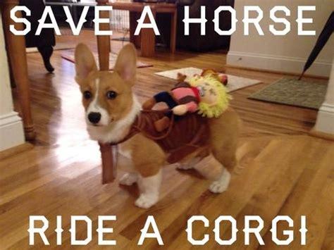 Funny Corgi Memes - 328 best funny corgi pictures images on pinterest corgi