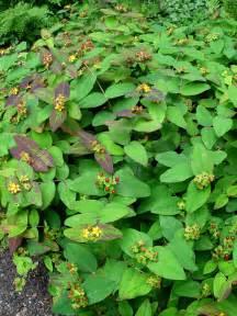 Flowering Shrub Shade - st johnswort albury purple garden housecalls