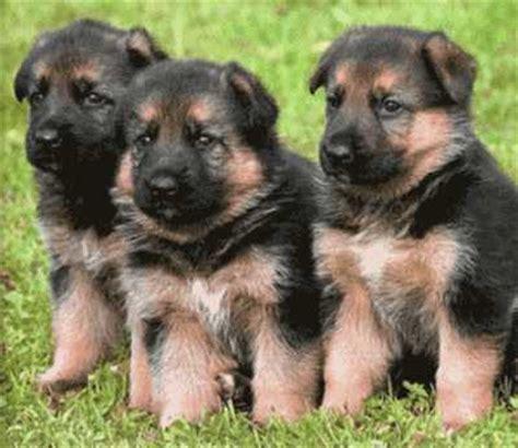 lade berger conozca la raza de perro pastor alem 225 n perro polic 237 a