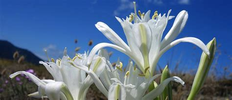 fiore giglio giglio di mare fiore sacro delle spiagge calabresi