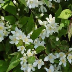 Incroyable Arbuste Persistant En Pot #3: deutzia_gracilis_d_tail_2_1.jpg