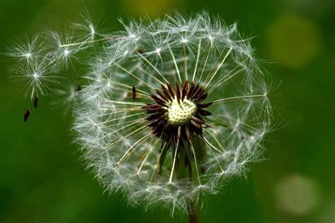 fiori dente di foto gratis natura estate macro vento dente di