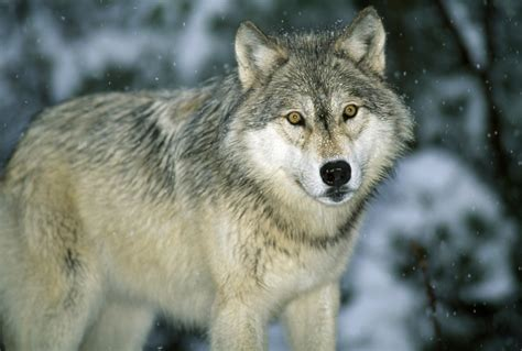 what color are wolves dnr confirms two wolves in iowa winter whotv