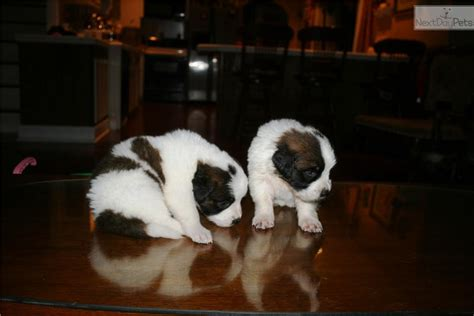 st bernard puppies for sale near me bernard st bernard puppy for sale near chattanooga tennessee 943ef9bf 4e61