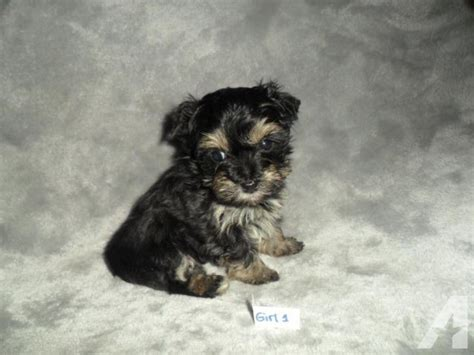 teacup yorkie poos for sale teacup yorkie poo puppies for sale in stanton missouri classified