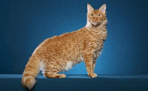 most preferred hypoallergenic cat breeds for allergy sufferers