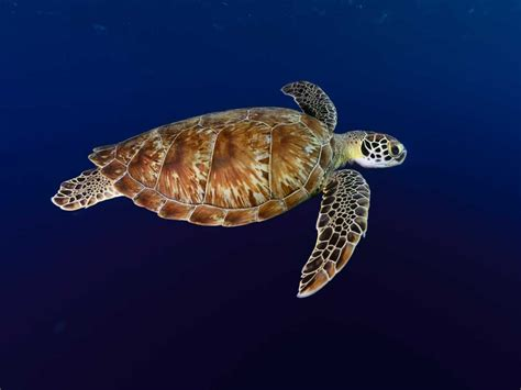 images of turtles green turtle images search