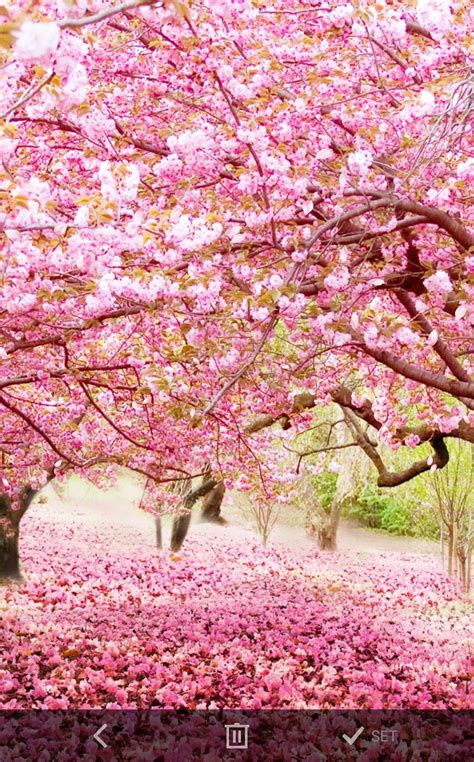 莫若樱花花之华要进来坐一 花吻在上voa樱花动漫