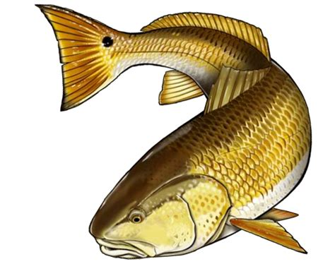 redfish clipart clipground
