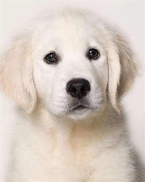 golden retriever puppies temperament 215 best so whites images on adorable