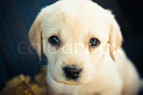 7 week golden retriever puppy 301 moved permanently