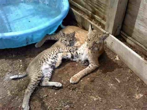 bobcat vs domestic cat images the wildlife center at crosstimbers ranch the wildlife
