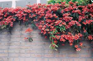 Fast Growing Climbing Plants For Trellis - high octane vines oklahoma gardener web articles
