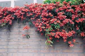 Fast Climbing Evergreen Plants - high octane vines alabama gardener web articles
