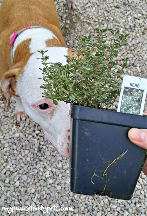 is rosemary safe for dogs what to plant for a friendly garden pawsitively pets