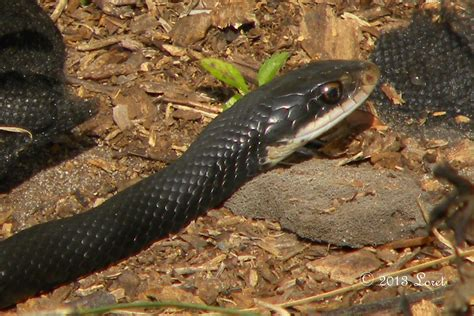 Garden Racer Snake Southern Black Racer Snake Coluber Constrictor Priapus Central Florida Critter Of The Day