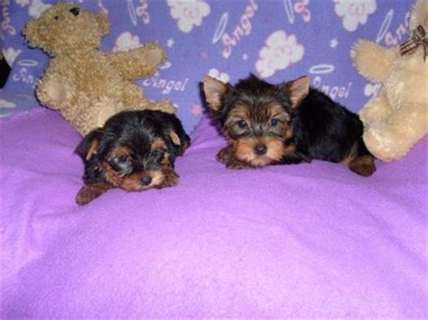 yorkie pups free to home free to home teacup yorkie puppies deer lake nl