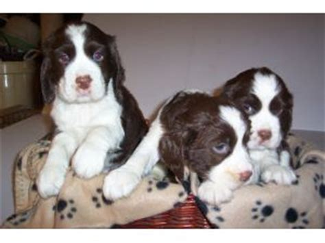 springer spaniel puppies for sale in wisconsin springer spaniel puppies for sale