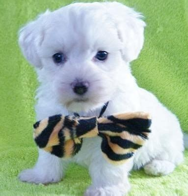 amish country puppies for sale top 25 ideas about designer puppies for sale on morkie puppies for sale