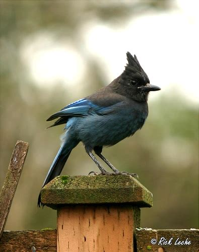 steller s jay the official bird of british columbia