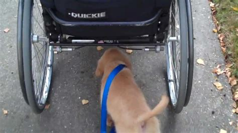 golden retriever wheelchair this awesome golden retriever puppy walks himself so his owner in a wheelchair doesn t