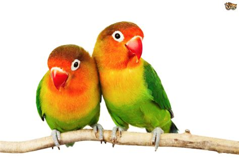 imagenes de love birds fischer s lovebird pets4homes