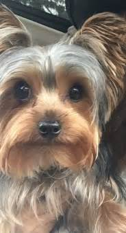 silky terrier hair cut 425 best images about yorkie love on pinterest