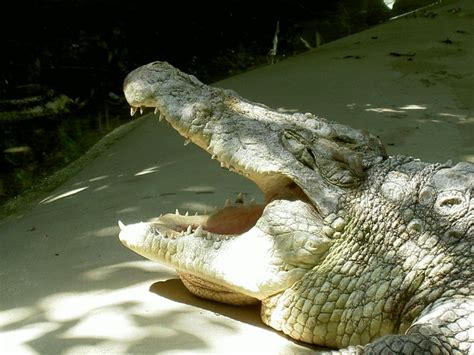 zoologischer garten berlin krokodile nilkrokodil wartet auf den zahnartzt berlin zoologischen