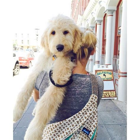 best recomendatuons for haircuts for goldendoodles de 25 bedste id 233 er inden for goldendoodles p 229 pinterest