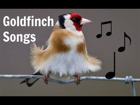 goldfinch videolike