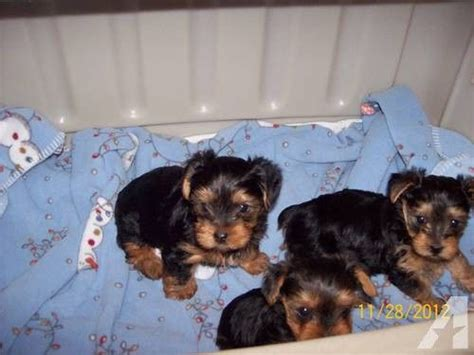 teacup yorkies for sale in kansas city 17 best ideas about yorkie puppies for sale on yorkie puppies teacup